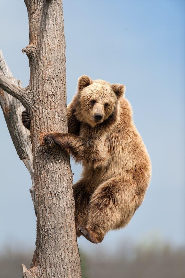 Brown bear climbing royalty free stock photography