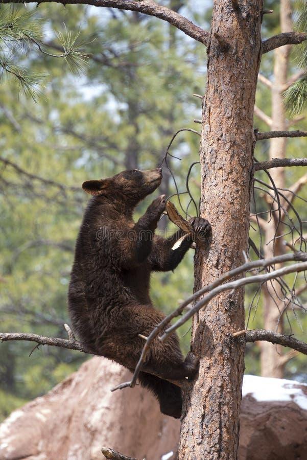 Brown Bear Climbing A Tree royalty free stock image