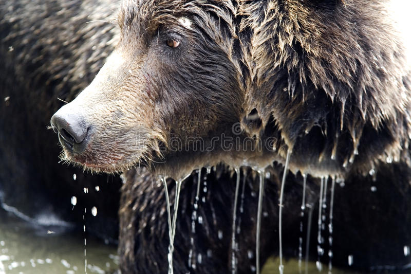 Download Brown bear. Close up stock image. Image of life, kamchatka - 11989763