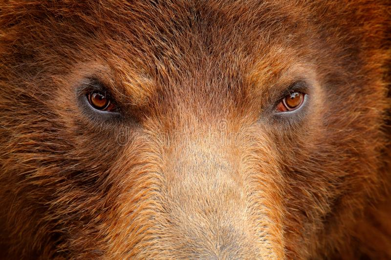 Brown bear, close-up detail eye portrait. Brown fur coat, danger animal. Wildlife nature. Fixed look, animal muzzle with eyes. Big royalty free stock photography
