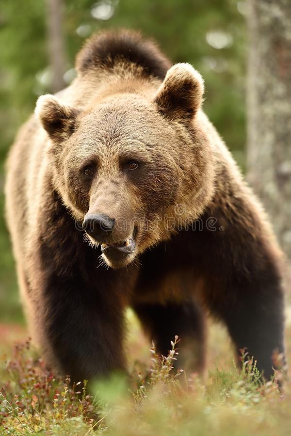 Brown bear closeup in forest. At summer royalty free stock images