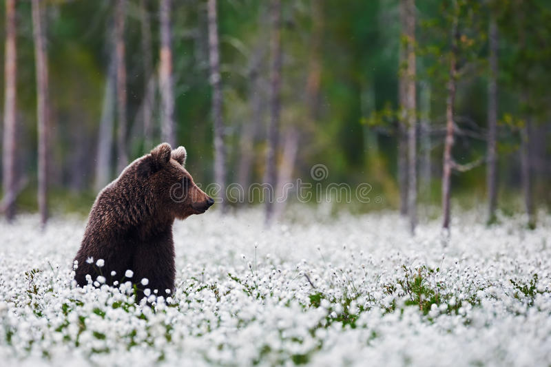 Brown bear between the cotton grass. Brown bear sitting betweeen the cotton grass in a finnish forest stock image
