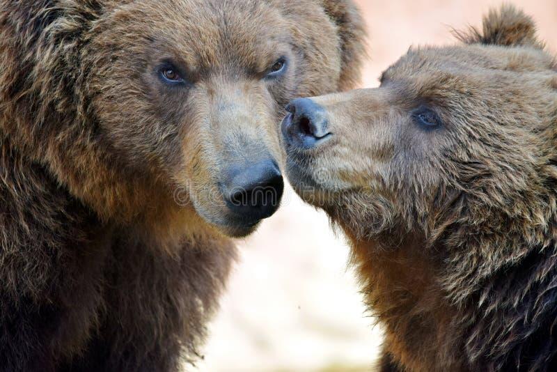 Brown Bear Couple Ursus Arctos Beringianus Head Closeup Portrait royalty free stock image