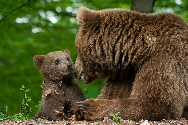 Brown bear and cub royalty free stock image