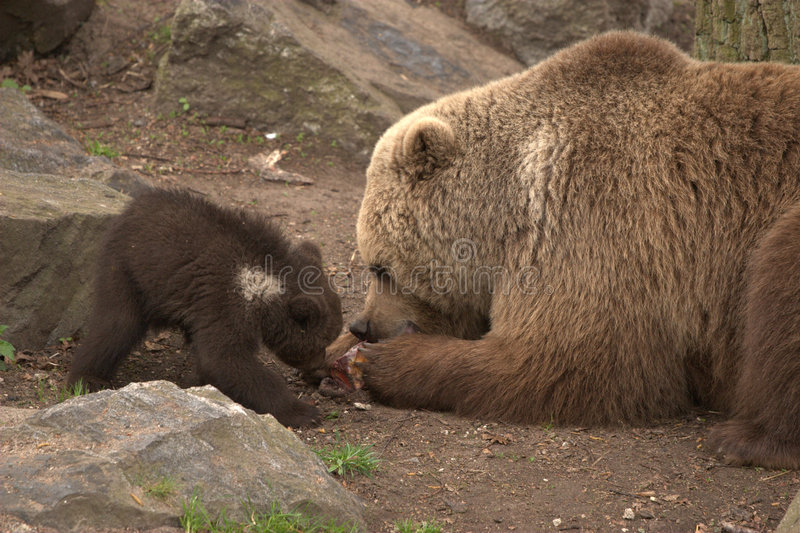 Brown bear and cub stock photos