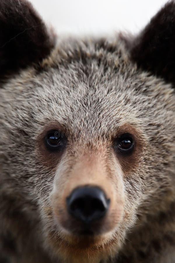 Brown bear cub face. Bear portrait, closeup stock images