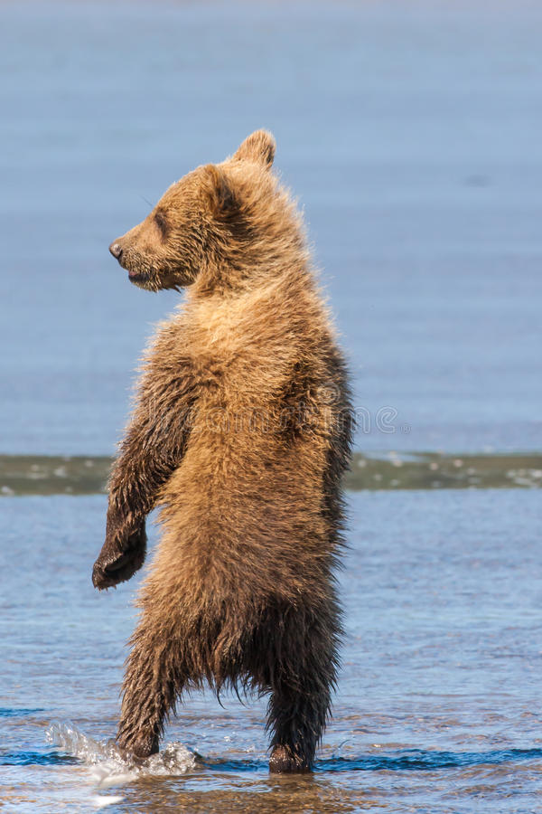 Download Brown Bear Cub stock photo. Image of watch, looking, erect - 32371758