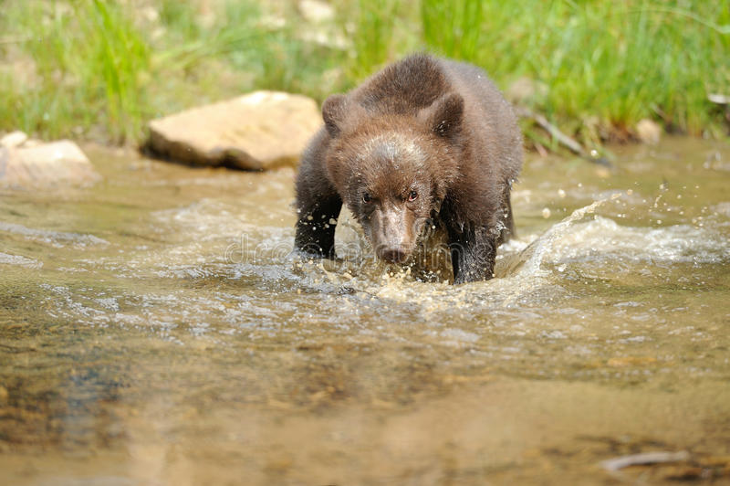 Brown bear cub royalty free stock image