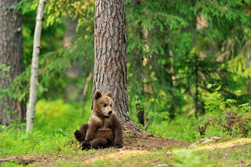 Brown bear cub in forest stock photos