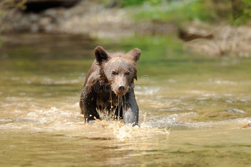 Brown bear cub stock image