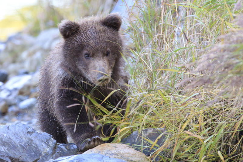 Brown bear cub looking for mother royalty free stock photos