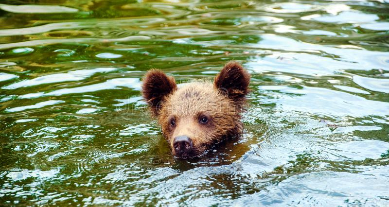 brown bear cub playing and rolling in the water stock images