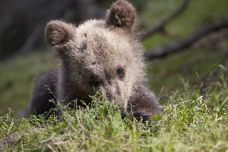 Shy baby bear on belly royalty free stock image