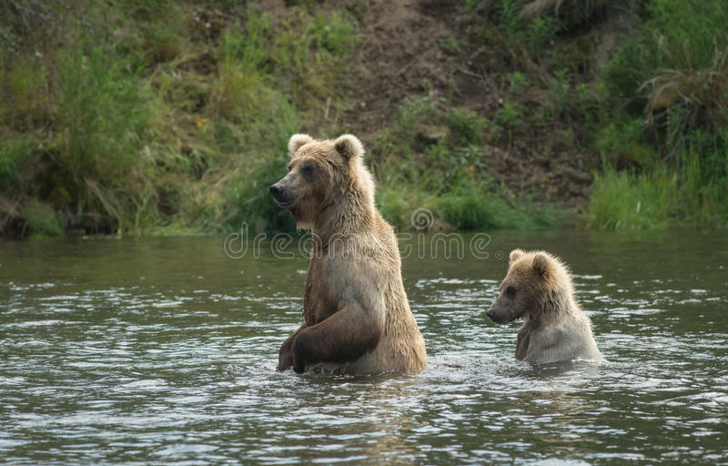 Brown bear cub and sow stock image