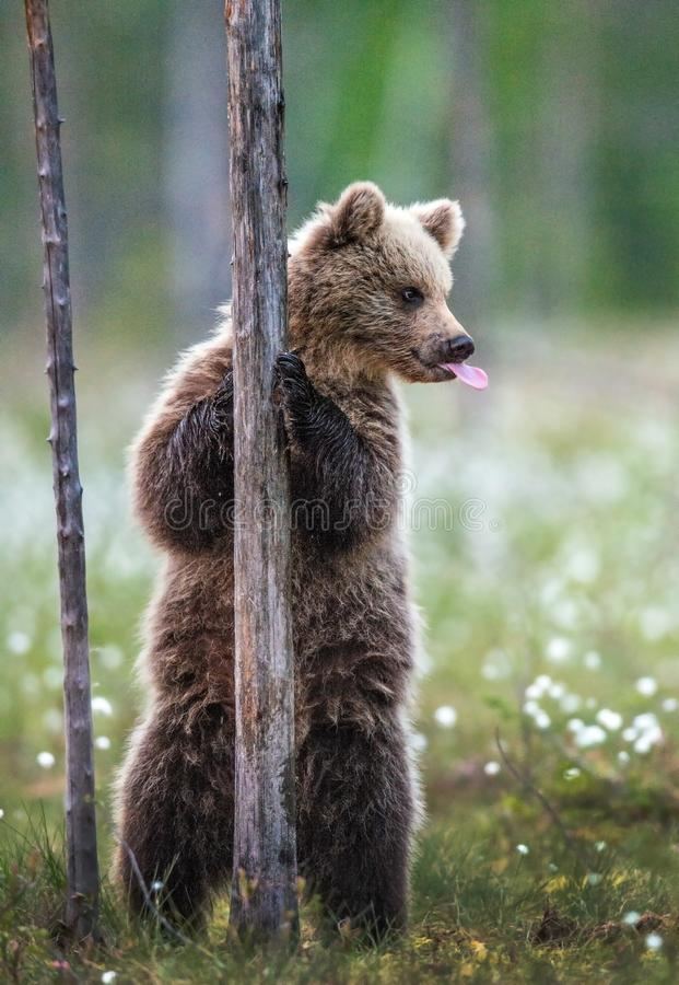 Brown bear cub stands on its hind legs by a tree in  summer forest and  shows tongue. Scientific name: Ursus Arctos  Brown Bear. Green natural background royalty free stock photography