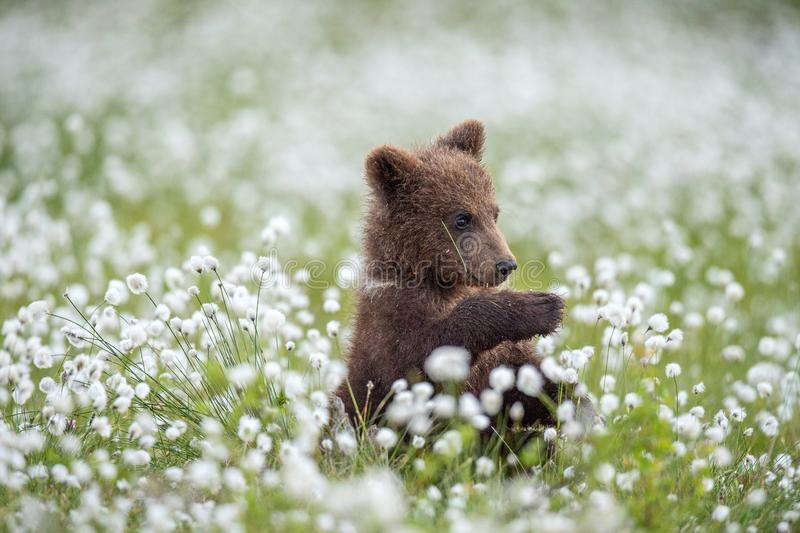 Brown bear cub in the summer forest among white flowers. stock image