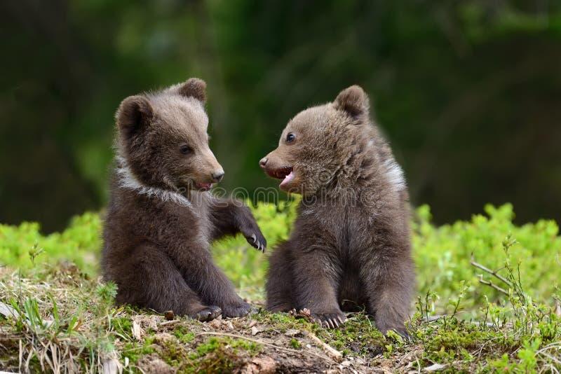 Brown bear cub. Wild brown bear cub close-up