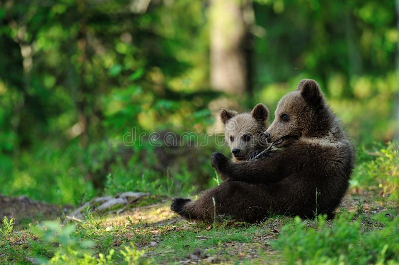 Brown bear cubs royalty free stock image