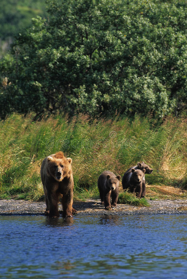 Download Brown Bear with Cubs stock image. Image of forest, ursus - 9437373