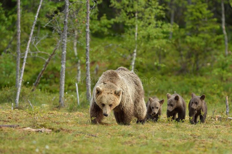 Brown bear with cubs. In the bog royalty free stock images