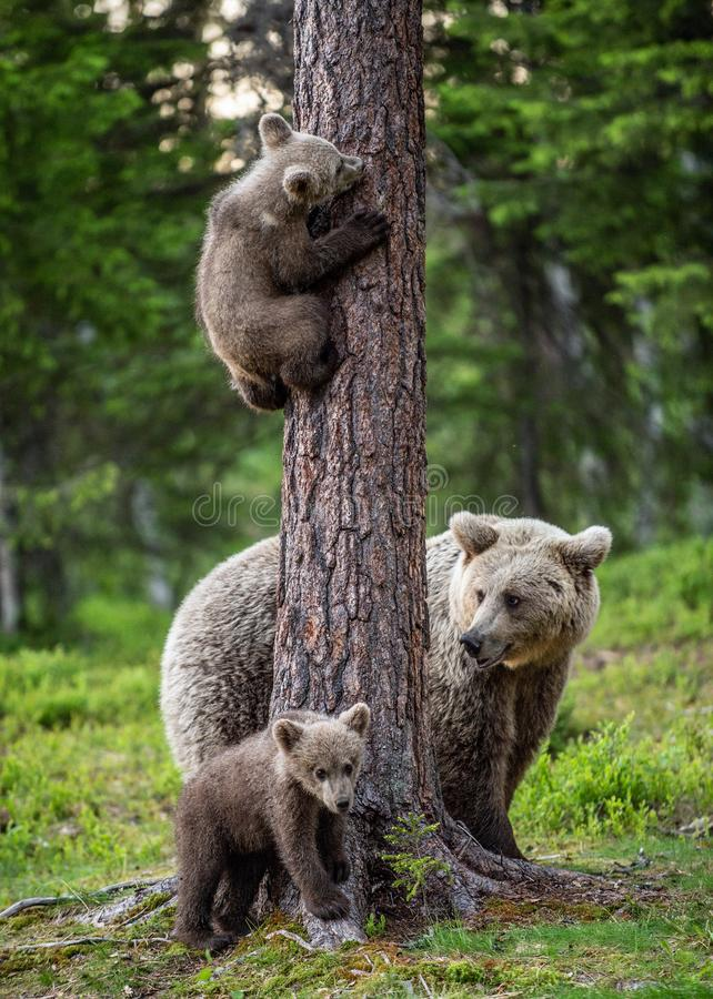 Brown bear cubs climbs a tree. She-bear and cubs in the summer forest. Brown bear. Scientific name: Ursus arctos. Summer season, natural habitat royalty free stock photo