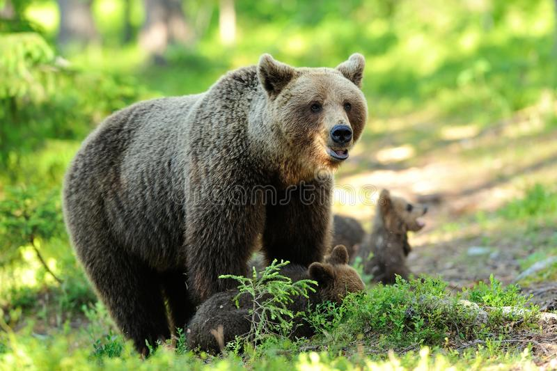 Brown bear with cubs royalty free stock image