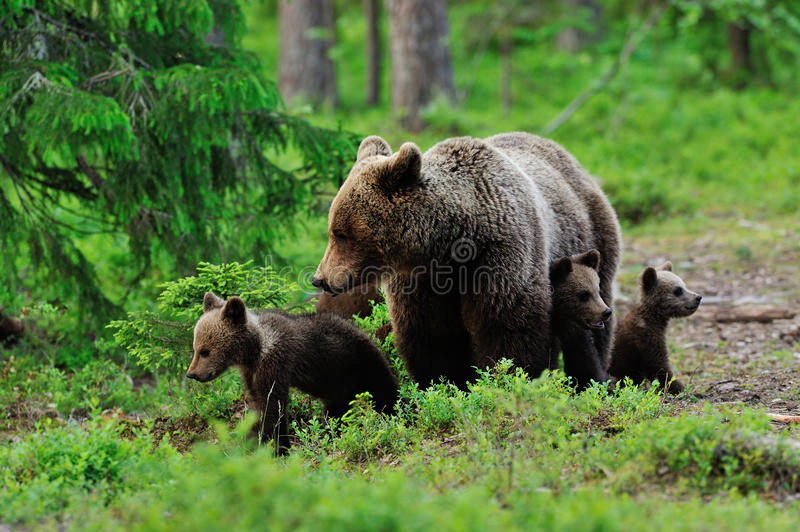 Brown bear with cubs. In the forest stock photos