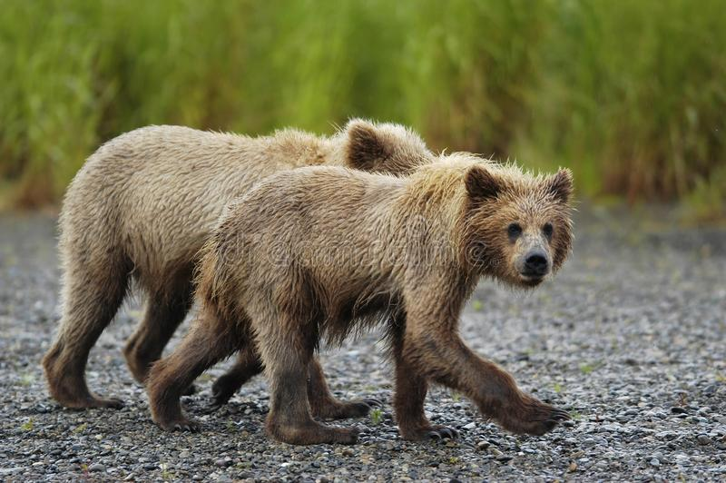 Brown bear cubs just out of the water stock image