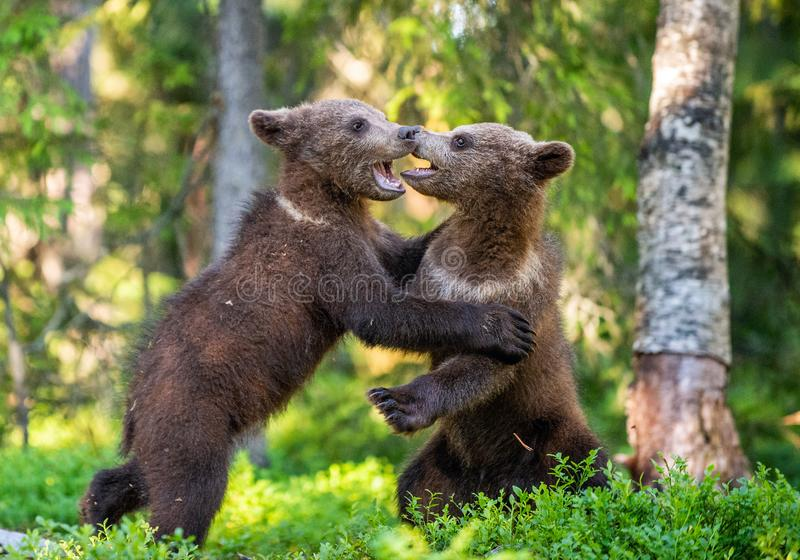 Brown Bear Cubs playfully fighting, stock images