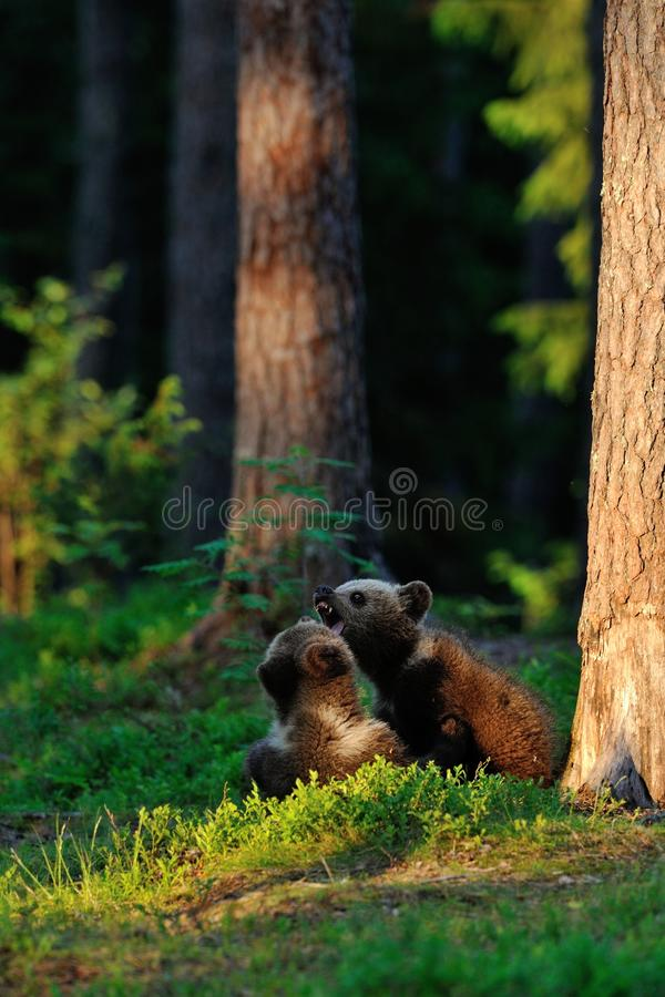 Brown Bear Cubs Playing Stock Photos