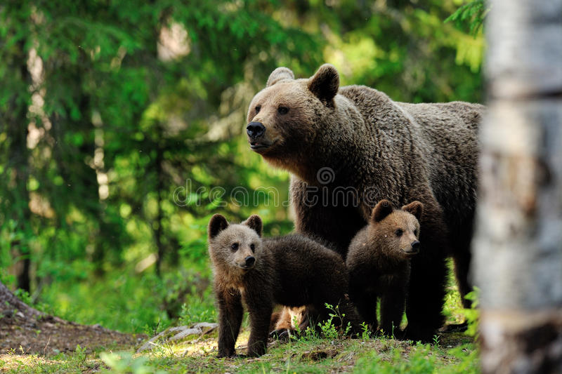 Brown bear with cups in the forest stock photos