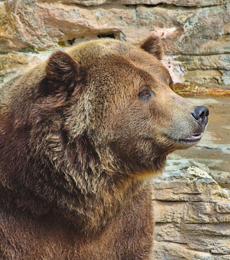 Brown bear at Denver Zoo royalty free stock image