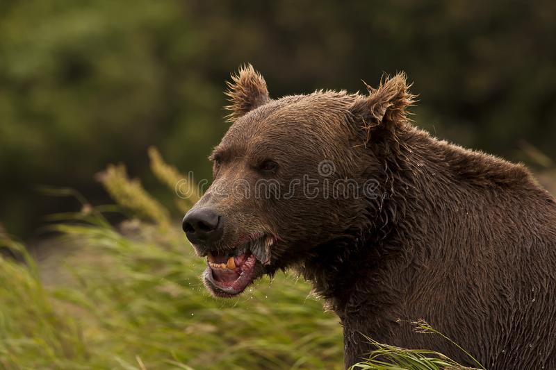 Brown Bear eating fish royalty free stock photography