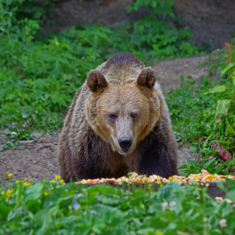 Brown bear eating. In the forest in Romania royalty free stock images