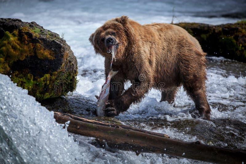 Brown Bear Eating Salmon royalty free stock photo