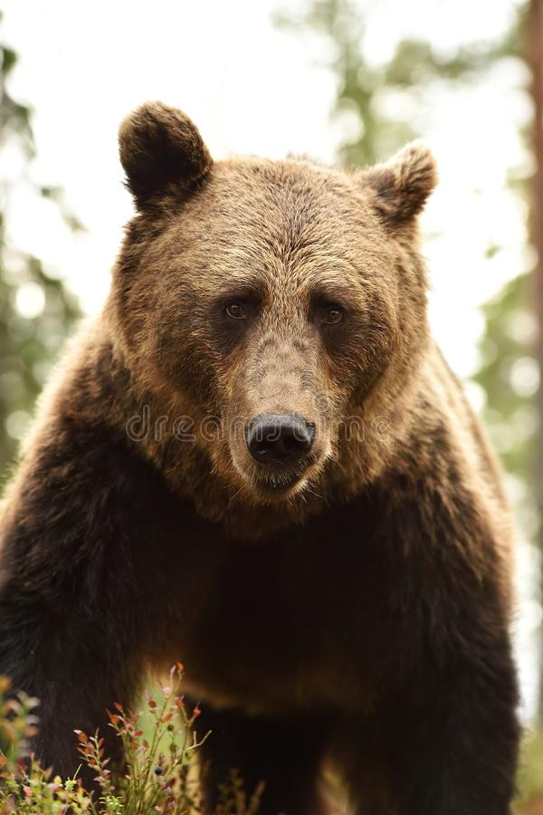 Brown bear face close-up. In forest royalty free stock images