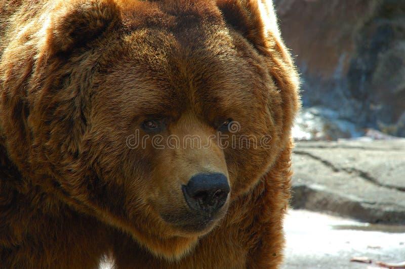 Brown bear face close up stock images