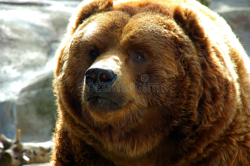Download Brown bear face close up stock photo. Image of danger - 5359494