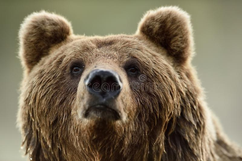 Brown bear face. Portrait. Bear head closeup stock images