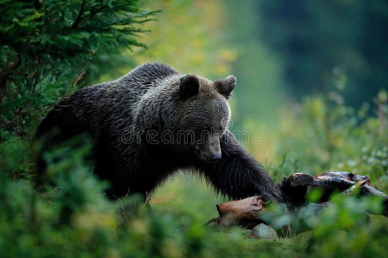 Brown bear feeding before winter. Slovakia mountain Mala Fatra. Evening in the green forest. Big female, dangers animal, yellow au stock photos