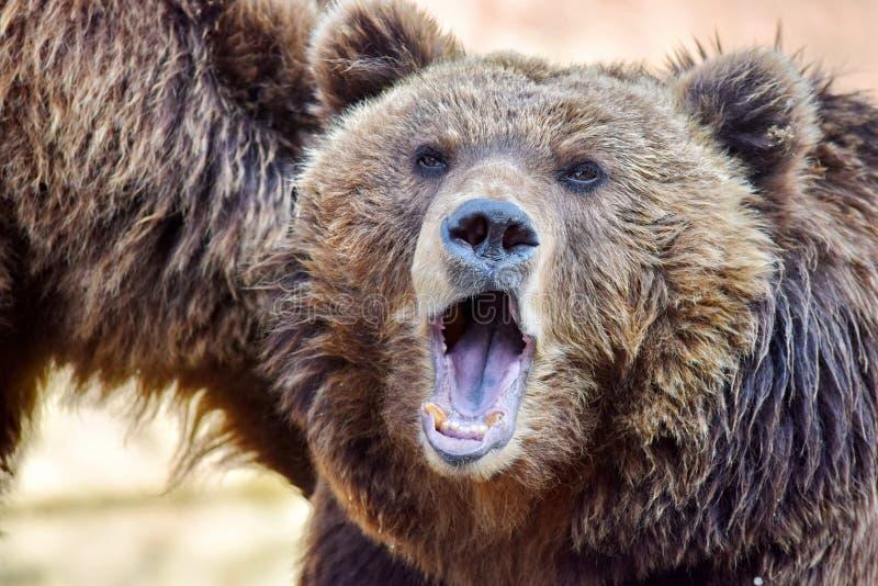 Brown Bear Female Ursus Arctos Beringianus Roaring royalty free stock images