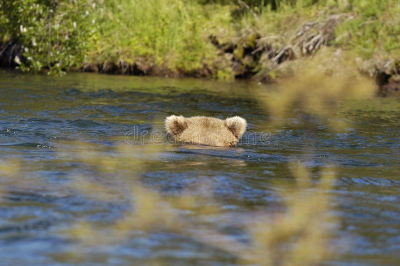 Brown bear floating down river royalty free stock photography