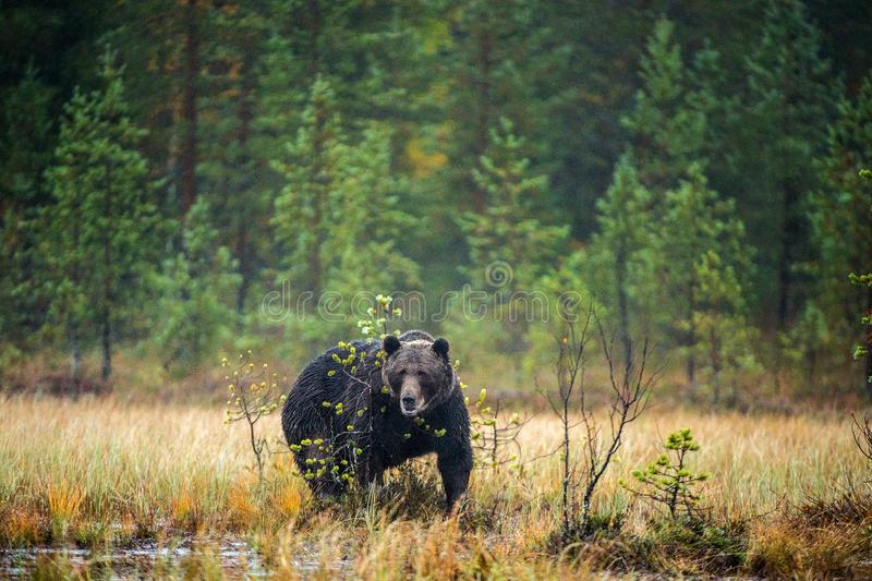 A brown bear in the fog on the bog. Adult Big Brown Bear Male. Scientific name: Ursus arctos. stock photo
