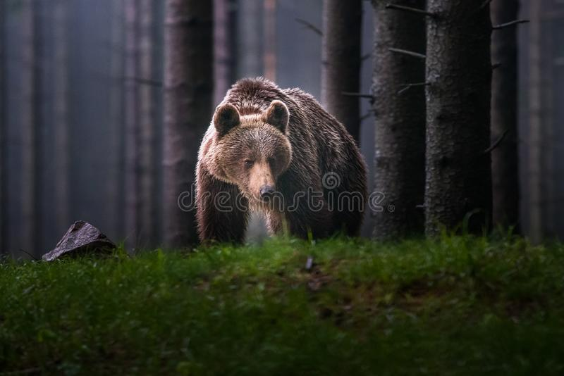 A brown bear in the forest. Big Brown Bear. Bear sits on a rock. Ursus arctos. stock photo