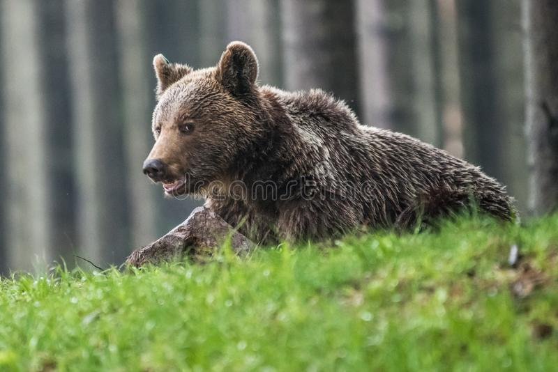 A brown bear in the forest. Big Brown Bear. Bear sits on a rock. Ursus arctos. Close up wild, big Brown Bear, Ursus arctos, male on the bank of lake, staring royalty free stock image
