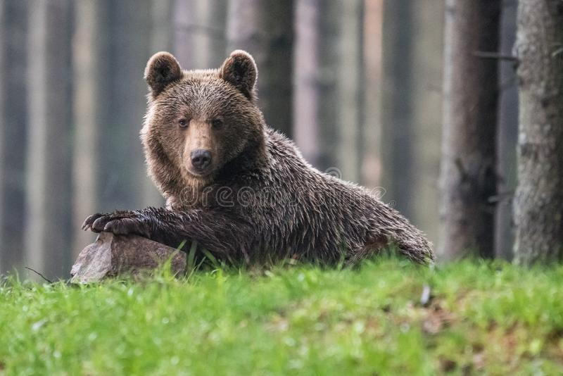 A brown bear in the forest. Big Brown Bear. Bear sits on a rock. Ursus arctos. Close up wild, big Brown Bear, Ursus arctos, male on the bank of lake, staring royalty free stock photography
