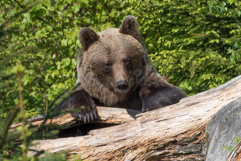 A brown bear in the forest. Big Brown Bear. Bear sits on a rock. Ursus arctos. Close up wild, big Brown Bear, Ursus arctos, male on the bank of lake, staring royalty free stock photos