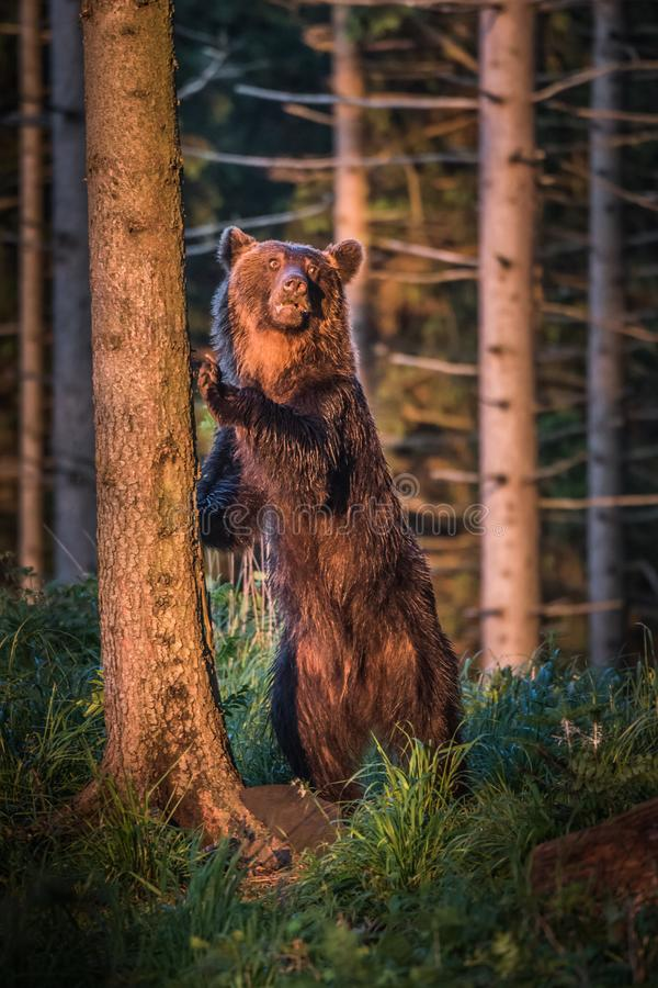A brown bear in the forest. Big Brown Bear. Bear sits on a rock. Ursus arctos. Close up wild, big Brown Bear, Ursus arctos, male on the bank of lake, staring stock photos