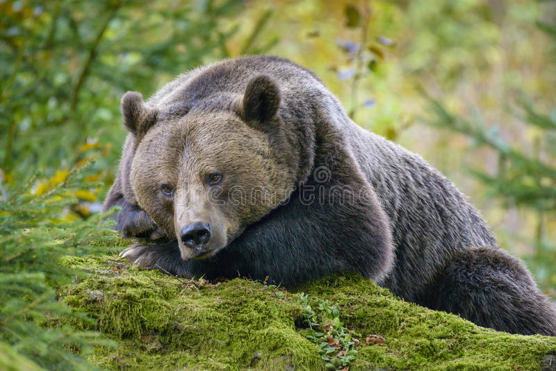 A brown bear in the forest stock photography