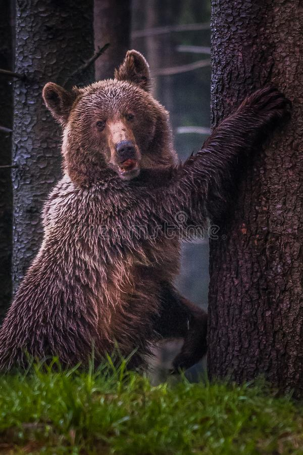 A brown bear in the forest. Big Brown Bear. Bear sits on a rock. Ursus arctos. Close up wild, big Brown Bear, Ursus arctos, male on the bank of lake, staring royalty free stock images